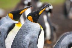 Rey Penguin Head En una colonia de grajos en Falkland Islands Imágenes de archivo libres de regalías