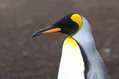Rey Penguin Head Portrait En una colonia de grajos en Falkland Islands Imagen de archivo libre de regalías