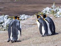 Rey Penguin, patagonicus del Aptenodytes, de la isla de los receptores acústicos, Falkland Islands-Malvinas Imágenes de archivo libres de regalías