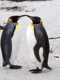 Rey Penguin, patagonicus del Aptenodytes, de la isla de los receptores acústicos, Falkland Islands-Malvinas Imagen de archivo libre de regalías