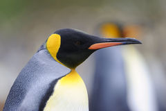 Rey Penguin (patagonicus del Aptenodytes) que se coloca en la playa Imagenes de archivo