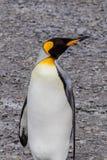 Rey Penguin que parece derecho en la playa de Georgia del sur Imagen de archivo libre de regalías