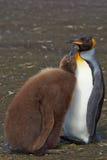 Rey Penguin y polluelo hambriento - Falkland Islands Imagen de archivo
