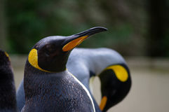 Rey Penguins Imágenes de archivo libres de regalías