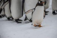 Rey Penguins en desfile Fotos de archivo libres de regalías
