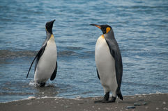 Rey Penguins en los llanos de Salisbury fotos de archivo
