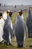 Rey Penguins en los llanos de Salisbury fotografía de archivo libre de regalías
