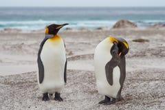 Rey Penguins en Sandy Beach - Falkland Islands Imágenes de archivo libres de regalías
