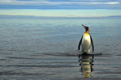 Rey Penguins en Suramérica Imágenes de archivo libres de regalías