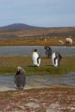 Rey Penguins en una granja de las ovejas - Falkland Islands Foto de archivo libre de regalías