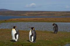Rey Penguins en una granja de las ovejas - Falkland Islands Fotos de archivo