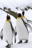 Rey pingüino Imagenes de archivo