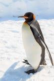 Rey pingüino adulto todavía que se coloca Foto de archivo libre de regalías