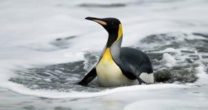 Rey pingüino en el vientre en agua Fotos de archivo