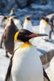 Rey pingüino en un grupo Fotografía de archivo libre de regalías