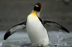 Rey pingüino que emerge del Shallows Imagen de archivo