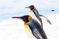 Rey pingüino que le mira Imagenes de archivo