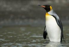 Rey pingüino que se coloca en el Shallows Imagenes de archivo