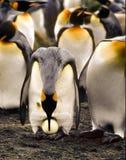 Rey pingüino que transfiere un huevo Fotos de archivo