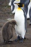 Rey pingüino y polluelo - Islas Malvinas Fotografía de archivo libre de regalías