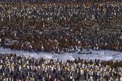 Rey pingüinos, bahía del St. Andrews, Georgia del sur Foto de archivo libre de regalías