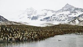 Rey pingüinos en paisaje imponente Fotografía de archivo