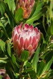 Rey Protea en Hawaii Imagen de archivo