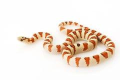 Rey serpiente (greeri de Greer?s del mexicana del Lampropeltis) Imagen de archivo