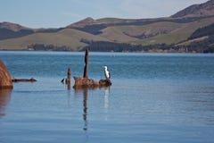Rey Shag de Nueva Zelandia Imagenes de archivo