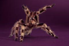 Rey Tarantula imagen de archivo libre de regalías