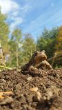 Rey Toad imagenes de archivo