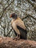 Rey Vulture Fotografía de archivo libre de regalías