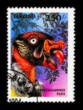 Rey Vulture (papá) de Sarcoramphus, pájaros del serie de la presa, circa 199 Fotos de archivo