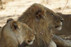 Rey y leona del león Fotografía de archivo libre de regalías