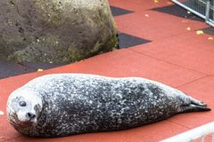 Seal in the Family park and Zoo in Reykjavik city. REYKJAVIC, ICELAND - SEPTEMBER 4, 2017: seal in the Family park and Zoo in Laugardalur valley Hot Spring royalty free stock photo