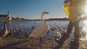 Reykjavik, Iceland - SEP, 2016: young woman is feeding wild birds on lake in centre of city, sunny weather stock video footage