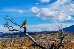 Rezar o pássaro em Parque Nacional Torres del Paine, o Chile Fotos de Stock Royalty Free