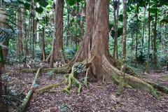rezerwat przyrody gigantyczni majestatyczni drzewa Fotografia Royalty Free