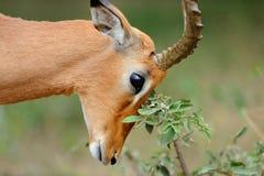 Rezo del impala Foto de archivo libre de regalías