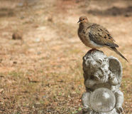 Rezos de la paloma cubiertos Foto de archivo libre de regalías