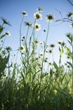 RField of daisy flowers. Chamomile in the field. White flowers on a blue sky background royalty free stock photos