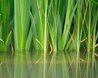 réflexion d'herbe dans l'eau Photo stock