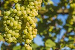 Оrganic grapes Royalty Free Stock Photos