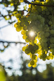 Оrganic grapes Stock Photo