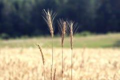 Rågfält på closeupen för sommardag Arkivfoton