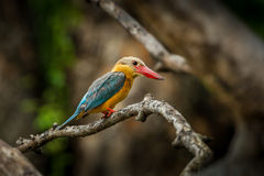 Rgiht side  of Stork-billed Kingfisher Royalty Free Stock Photo