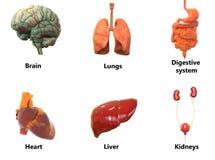Órgãos AnatomyBrain do corpo humano, pulmões, sistema digestivo, coração, fígado com rins Imagem de Stock Royalty Free