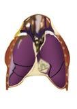 órgãos humanos Imagem de Stock