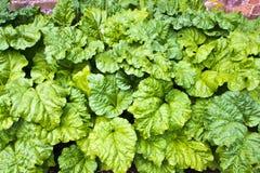 Rhabarber, der in einem Gemüsegarten wächst. Stockbilder
