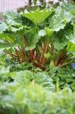 Rhabarberanlage (Rheum rhabarbarum) im Garten Lizenzfreie Stockbilder